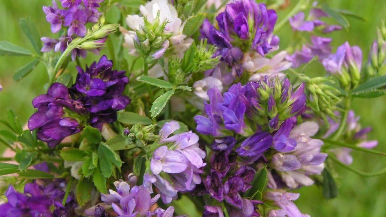 Mała wielka roślina – lucerna siewna