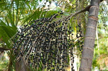 Jagody acai – źródło witamin, sekret młodości
